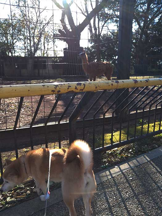 柴犬と夢見ヶ崎動物公園