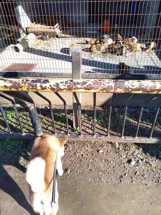 モルモットと柴犬